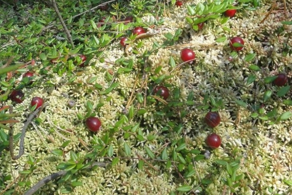 Выращивание клюквы на садовом участке