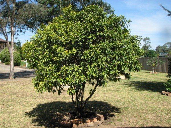 Кумкват - солнцелюбивое растение
