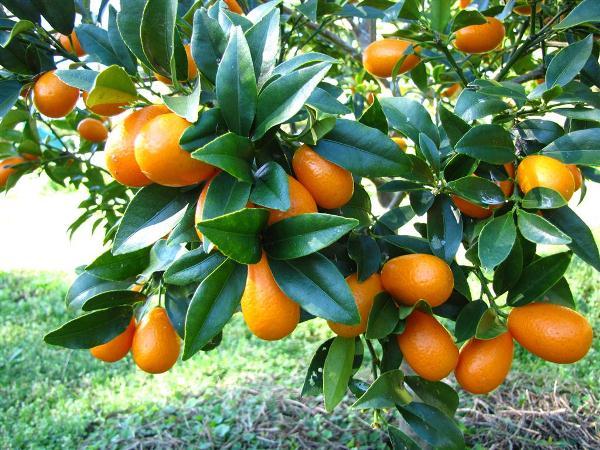 Тропический фрукт Кумкват