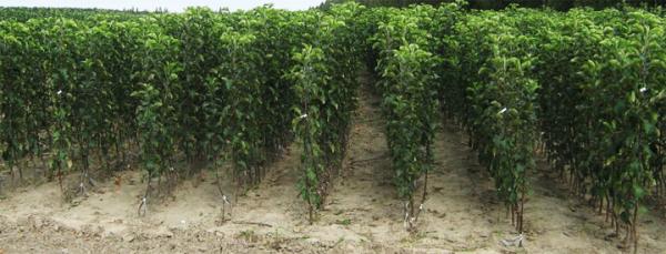 Саженцы плодовых деревьев лучше всего приобретать в питомнике