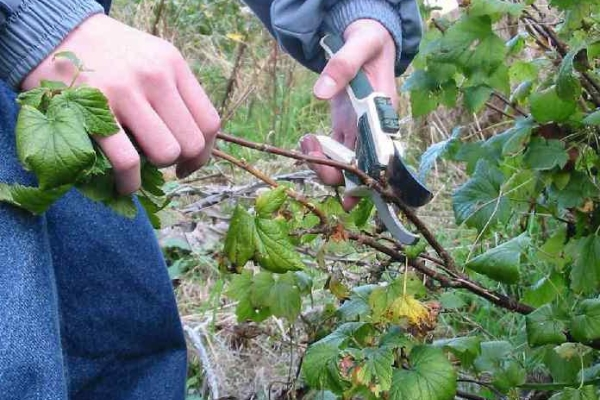 Вырезать необходимо старые ветви смородины, однолетние, поврежденные болезнями или вредителями