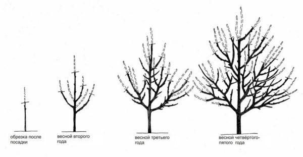 Разреженно-ярусная система формирования кроны абрикоса