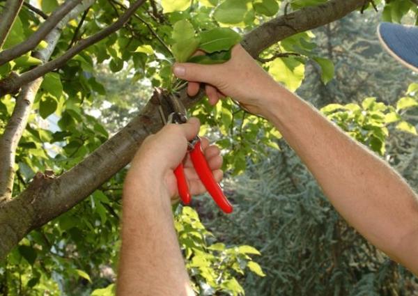 Летнюю обрезку лучше делать для деревьев, возраст которых 3 года и старше