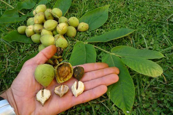 Маньчжурский орех в руке. Размеры плодов