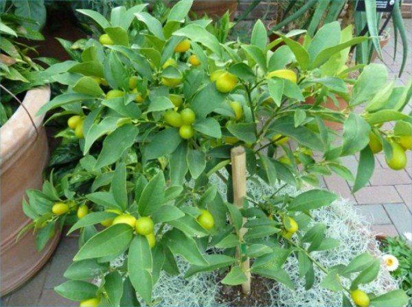 В весенне-осенний период Кумкват следует удобрять 2-3 раза в месяц