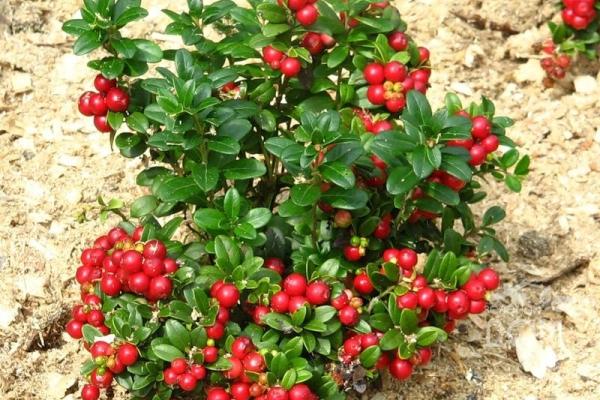 Выращивание клюквы в саду: особенности посадки и ухода
