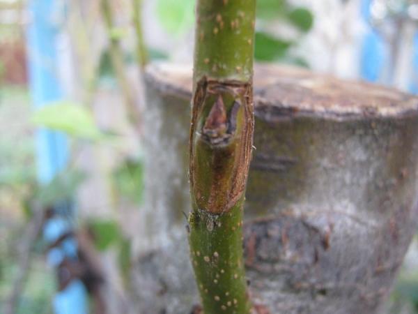 Окулировка – это прививание вегетативным органом – почкой. Он срезается с однолетнего пробега со слоем коры и небольшим участком древесины