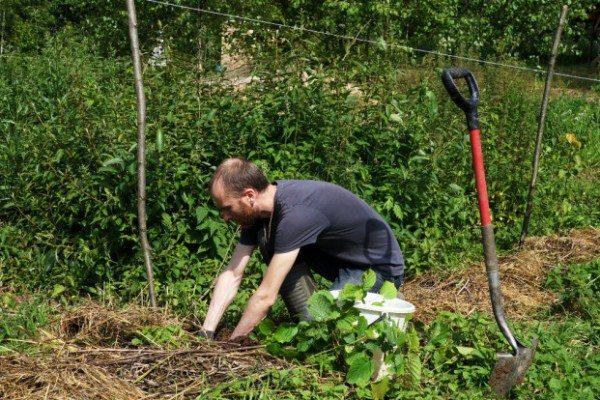 Подготовка ямы для посадки лещины