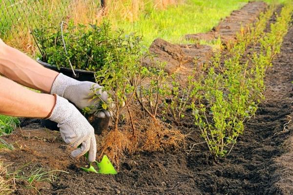 Посадку барбариса в открытый грунт проводят как осенью, так и весной, осенняя посадка предпочтительней