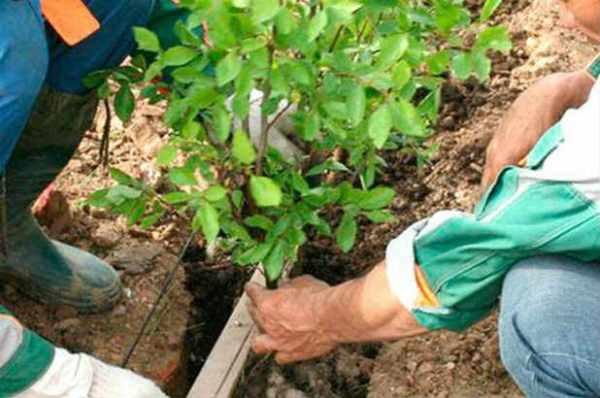 Частота посадок кустиков барбариса зависит от сорта