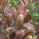 Листья барбариса Оттавский поражены ржавчиной