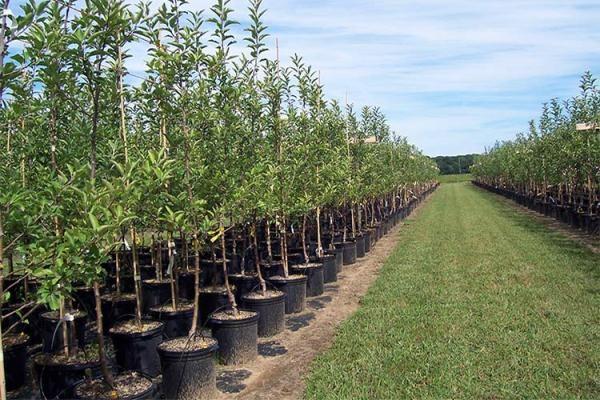 Саженцы плодовых деревьев выращенные в контейнере