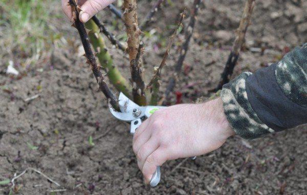 Весной и осенью необходимо обрезать сухие и поврежденные ветви розы