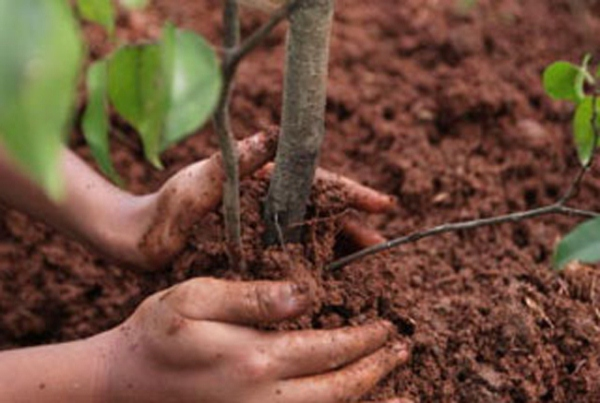 Высадка саженцев плодовых деревьев