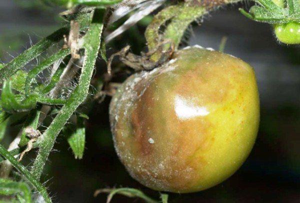 Плод и стебель томата, пораженные серой гнилью