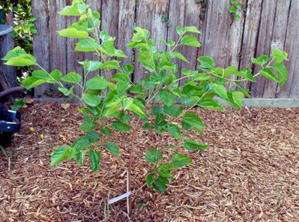 Шелковица дерево как сажать 34