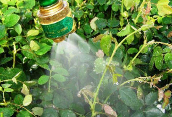 Весной розу опрыскивают химическими и биологическими препаратами