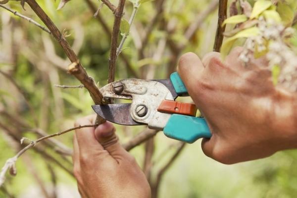 Обрезка плодовых деревьев: для чего необходима и когда ее проводить?