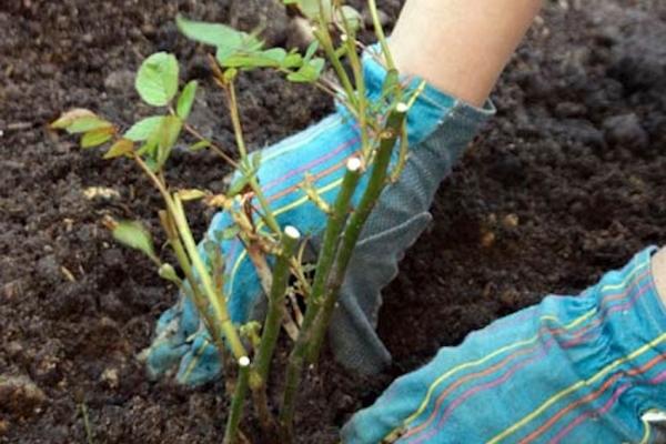 Чтобы куст хорошо укоренился, нужно обрезать его корни - их длина должна быть минимум 25 см