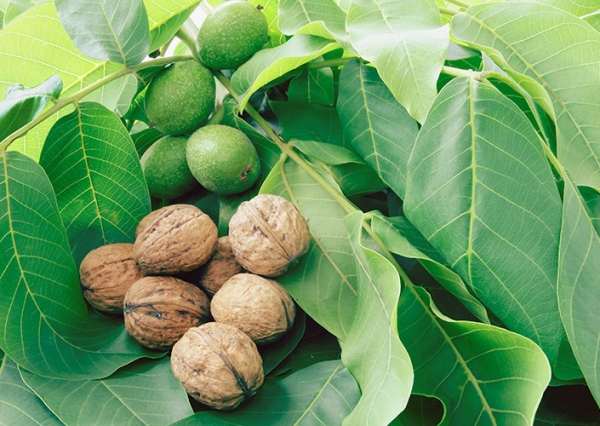 Грецкие орехи улучшают иммунитет, повышают гемоглобин, выводят холестерин, восстанавливают зрение
