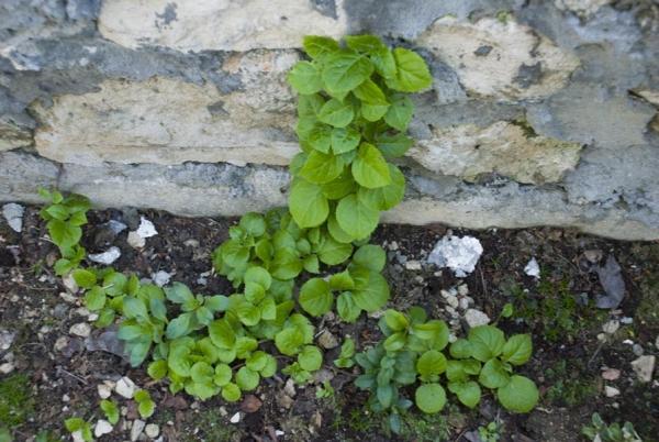 Сажают растение весной, место посадки должно быть защищено от ветра,прямых солнечных лучей