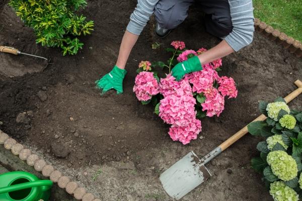 Сажают саженцы весной, в полутени, перед посадкой корни растения укорачивают, побеги обрезают