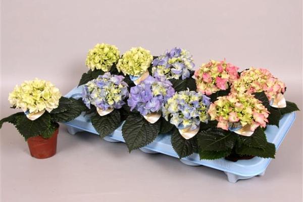 Существует множество сортов этого растения, предназначенных именно для выращивания и содержания в квартире