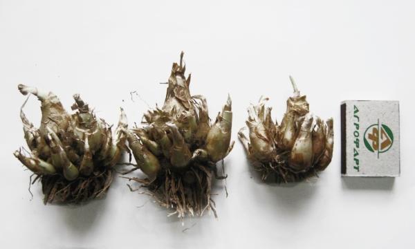 На выгонку луковицы садят в феврале в специальные ящики для рассады или небольшие контейнеры