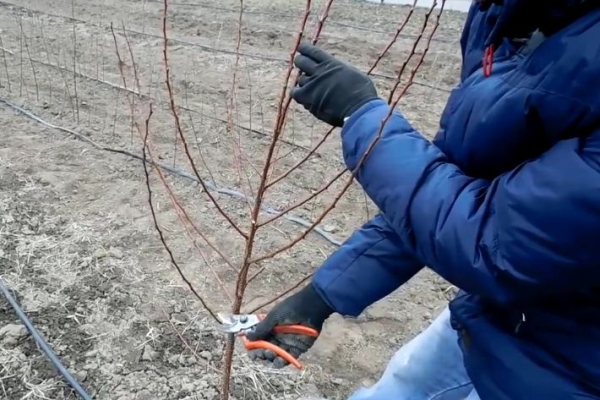 """В первый год саженец абрикоса обрезают """"на кольцо"""", оставляют 80-90 сантиметров от земли"""