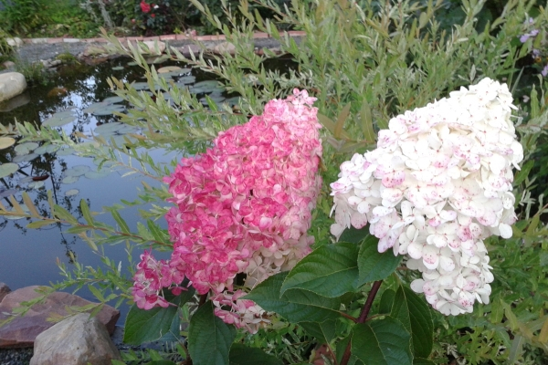 Гортензия метельчатая Vanilla Freise цветёт с конца июня по сентябрь