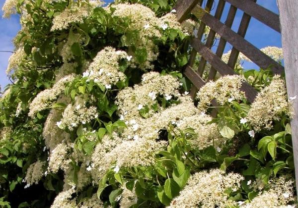 Для цветка нужно сделать опору, требуется регулярный полив и подкормки