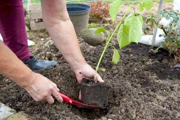 Сажают растение осенью или весной, в полутени, на рыхлых плодородных суглинках с нейтральной или слабокислой средой
