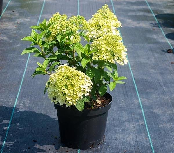 Гортензию Бобо можно выращивать не только в открытом грунте, но и в горшках