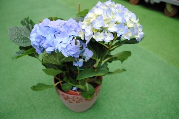 Регулярный и обильный полив следует проводить во время вегетации