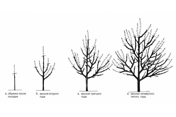 Схема обрезки абрикоса в зависимости от года жизни дерева