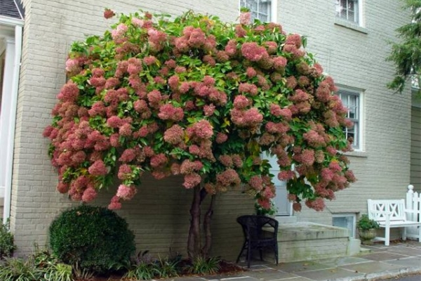Цветет кустарник с июня и до заморозков, может зимовать без укрытия