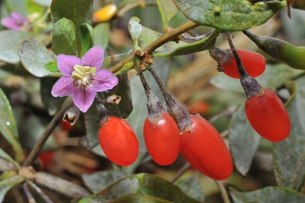 Дереза обыкновенная относится к семейству Пасленовых, является многолетним кустарником