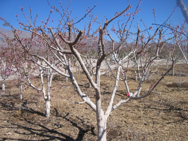 На третий год необходимо слегка уменьшить ветви, которые растут от ствола, но при этом не являются скелетными