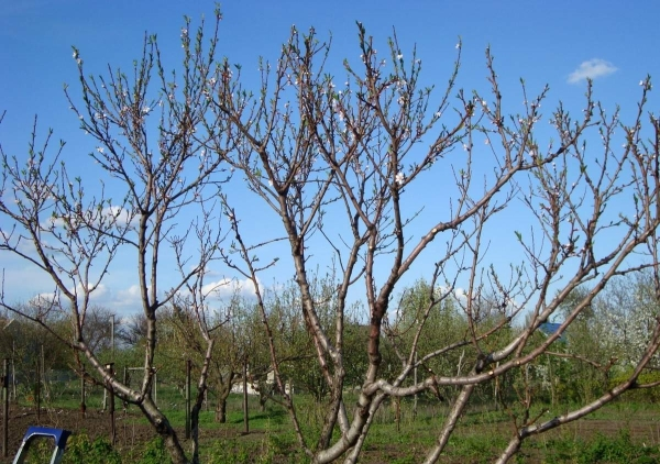 Обрізка абрикоса восени відео