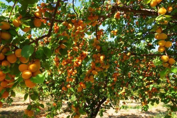 Обрезка абрикоса осенью нужна для того, чтобы каждый год обеспечивать образование новых побегов, что сохранит обильный урожай