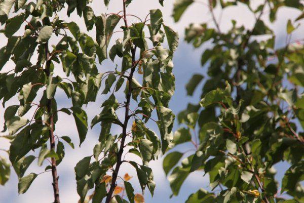 При загущенной кроне абрикоса, дерево испытывает недостаток света, что приводит к усыханию веток и их отмиранию