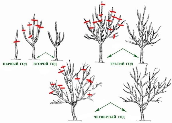 Схема весенней обрезки сливового дерева