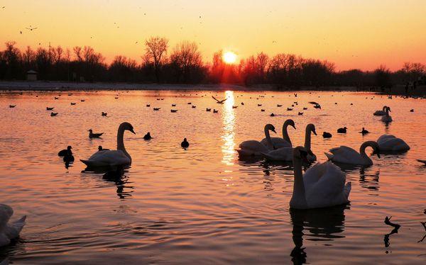 При большом количестве птиц на водоеме - утки нуждаются в прикорме