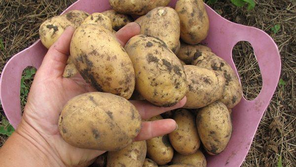 Средняя масса одного клубня картофеля Колетте не превышает 120-123 г