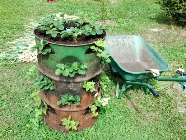 Клубника в бочке на садовом участке