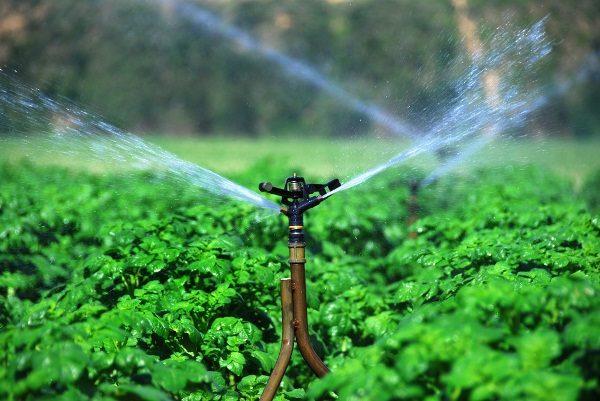 Засуху Аврора переносит прекрасно, поэтому при выращивании в условиях средней полосы, в поливах, возможно, не будет необходимости