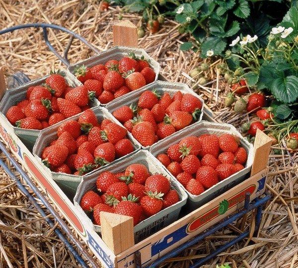 Клубника Московский деликатес относится к категории гибридов нейтрального светового дня и дает высокий урожай на протяжении длительного времени