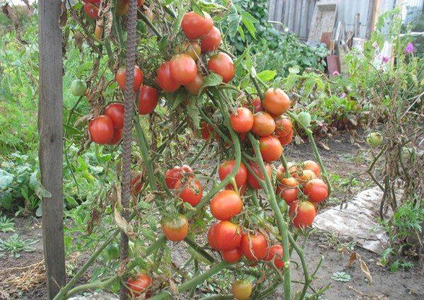 Де Барао полюбился огородникам не из-за размера, а благодаря высокой урожайности