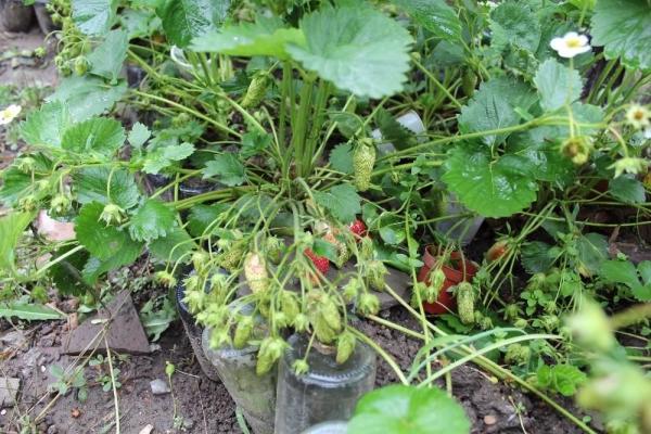 Морозоустойчивый, урожайный, неприхотливый в уходе сорт