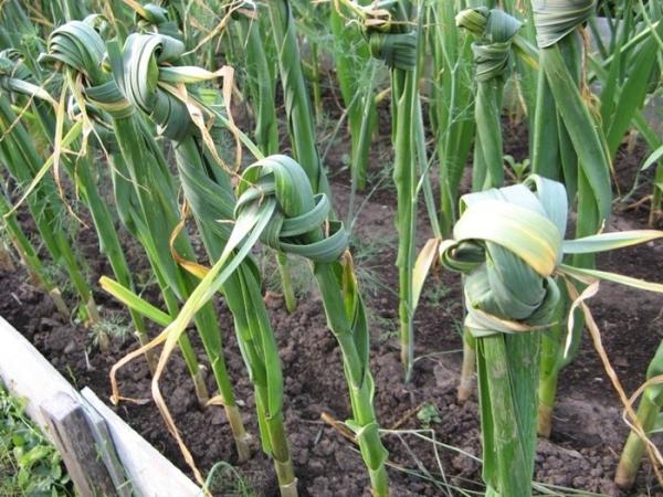 Ускорить созревание луковиц можно, завязав листья у каждой узлом